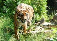 Sumatraanse tijger.