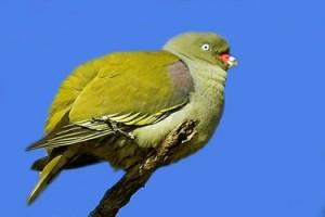 De groene Floresduif wordt bedreigd. Naar schatting zijn er minder dan 5000 over.