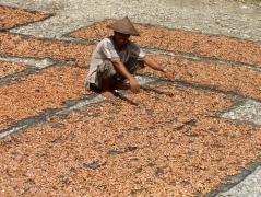 Een cacaoboer in de provincie West-Sulawesi
