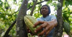 Een vrouw plukt een cacaovrucht in West-Sulawesi