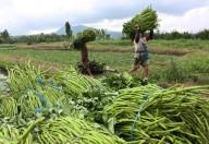De oogst van waterspinazie in Noord-Sulawesi
