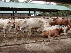 Een veehouderij op Lombok