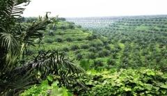 Uitgestrekte oliepalmplantages in Noord-Sumatra
