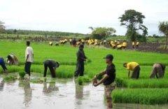 Een rijstveld in de buurt van Merauke