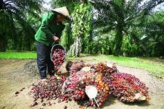 Een arbeider op een oliepalmplantage in Centraal-Kalimantan