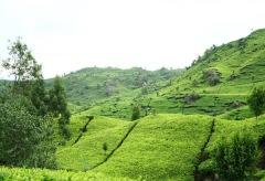 Uitgestrekte theeplantages in West-Java