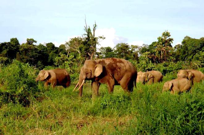 De Borneodwergolifant is een van de drie overgebleven soorten Aziatische olifanten.
