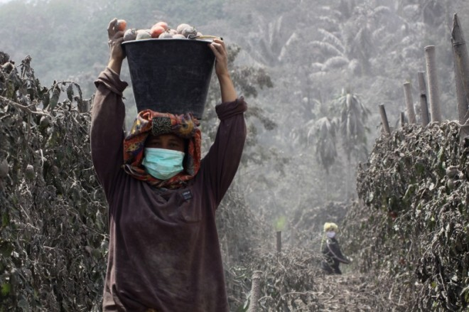 Boeren in de buurt van de Sinabungvulkaan oogsten tomaten, terwijl de plantage bedekt is door de as van de vulkaan (6 januari 2014).
