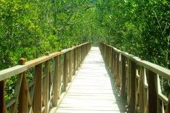 Mangrove Sofifi